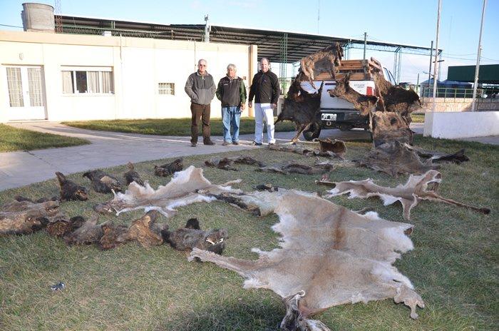 e634287482358 Avanzan los jabalíes y los pumas y los productores no los pueden ...